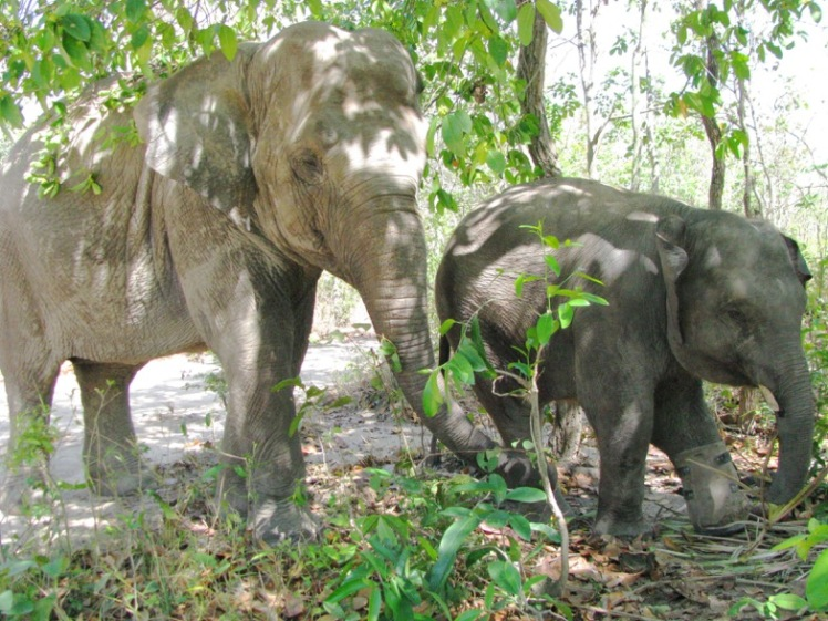 Juvenile male Chhouk and female Lucky go for their daily walk in the forest. Both elephants were found as infants having lost their mothers-1
